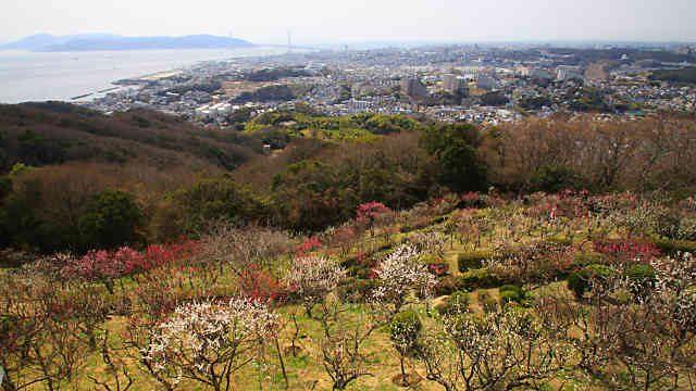 須磨浦山上遊園の梅林