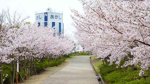金ケ崎公園の桜