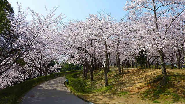 石ケ谷公園の桜