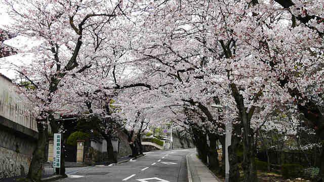 芦屋霊園のさくら参道