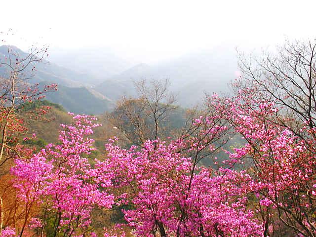 登山道のミツバツツジの群落