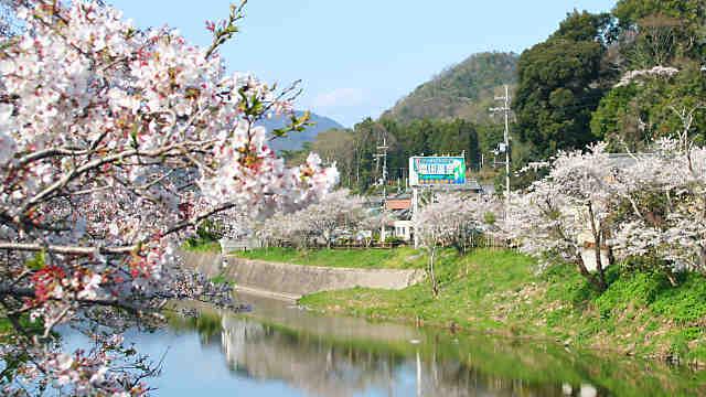 夢前川の桜 塩田温泉の桜並木