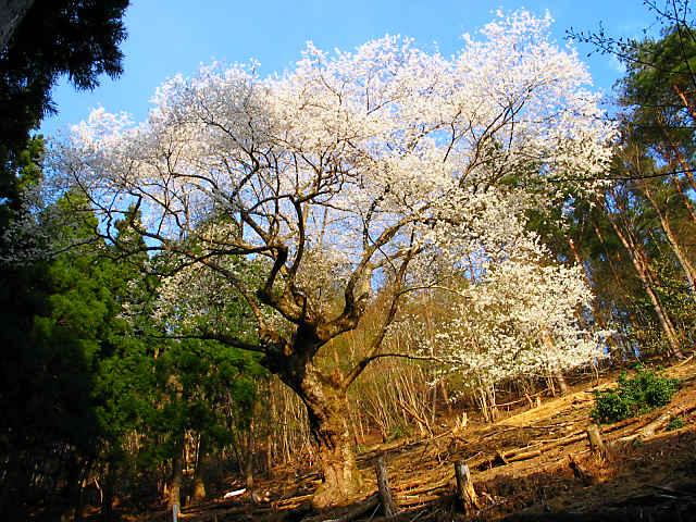 糸原のみづめ桜 御祓山のエドヒガン桜