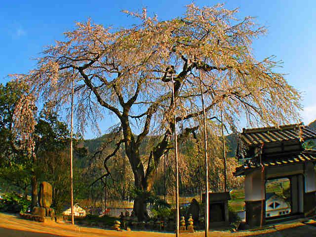 西方寺のしだれ桜