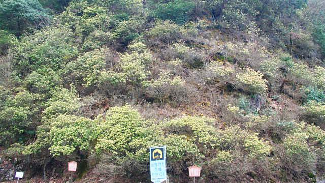 生野銀山のヒカゲツツジ
