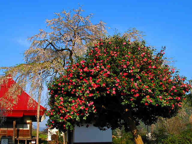 西方寺のしだれ桜とつばきの花
