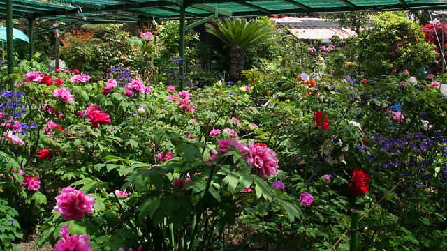 薬師院のぼたん園
