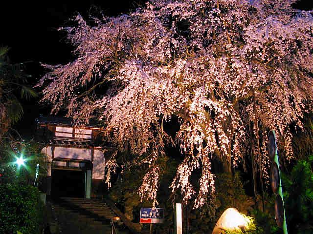 西方寺のしだれ桜のライトアップ