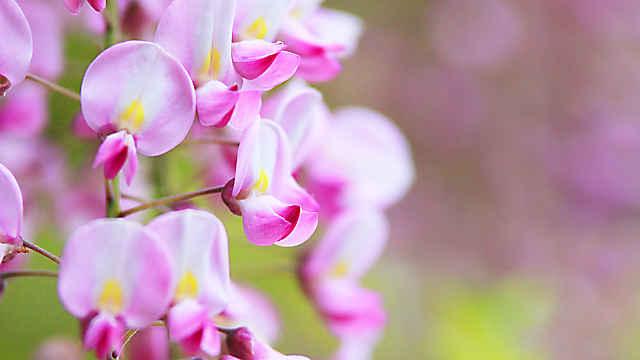 須磨離宮公園の藤の花