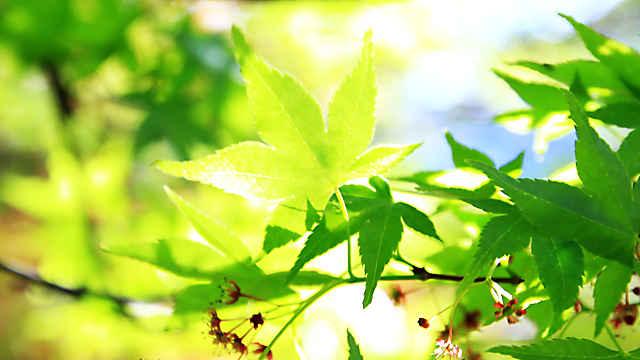 丹波少年自然の家・倉町野のモミジの新緑