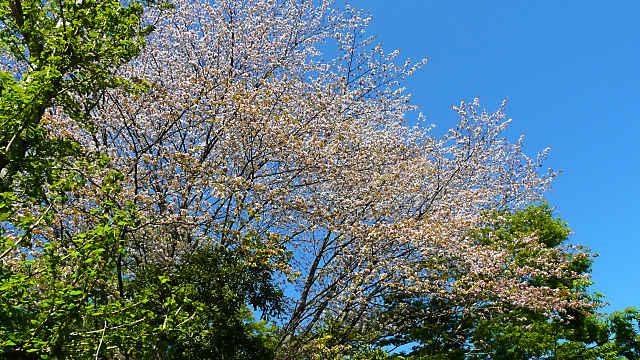 丹波少年自然の家・倉町野の桜