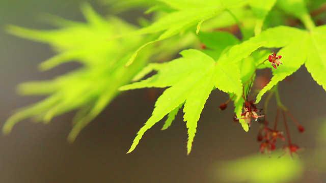 高源寺 新緑のモミジとモミジの花