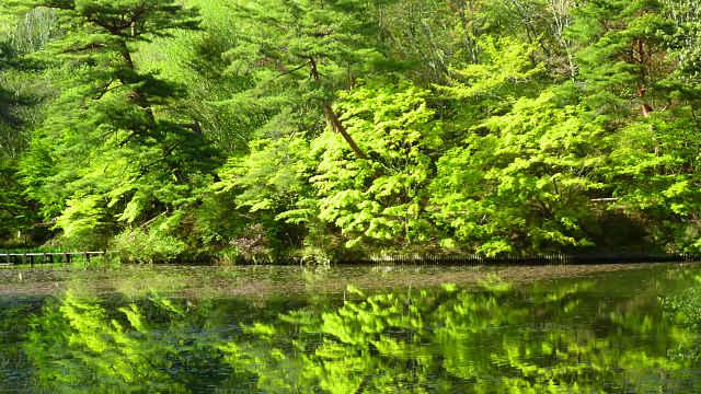 長谷池の新緑