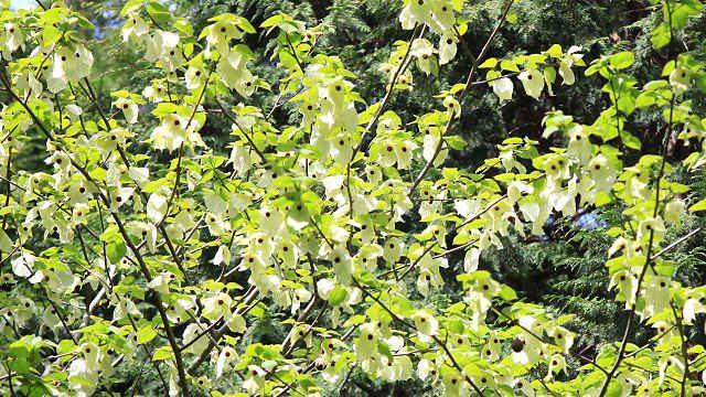 ハンカチの木 神戸市立森林植物園