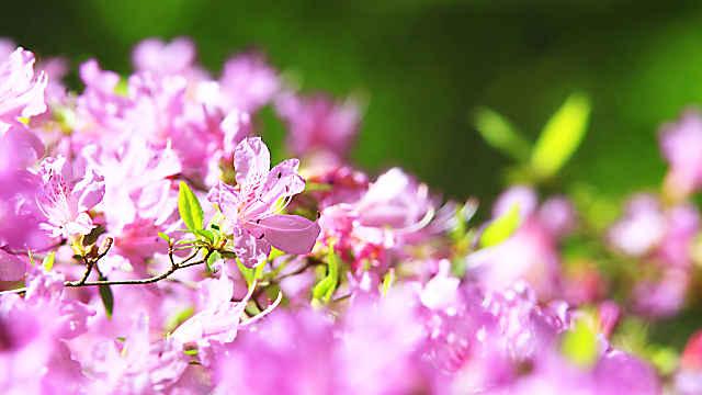 キリシマツツジの花