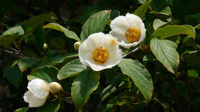 明石 観音寺 沙羅の花