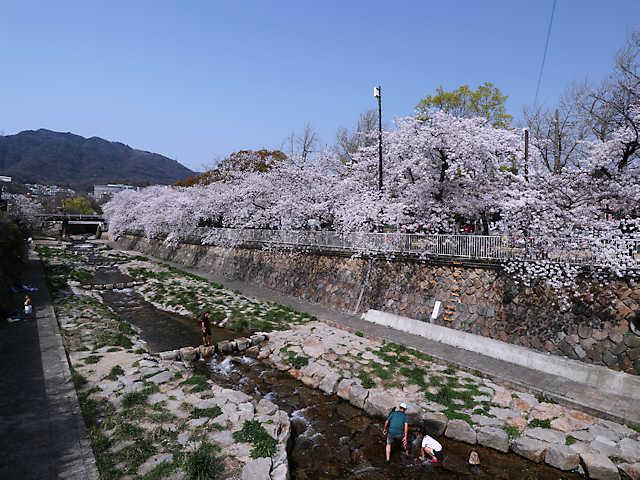都賀川の桜