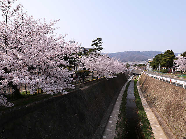 石屋川の桜