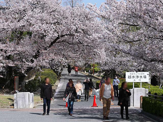 越水浄水場の桜