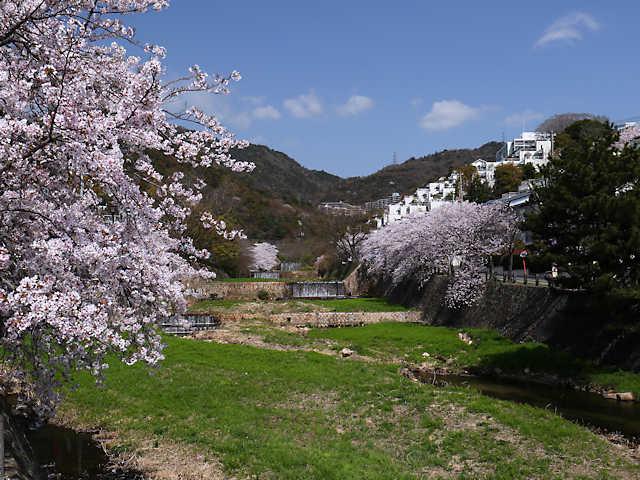 芦屋川の桜
