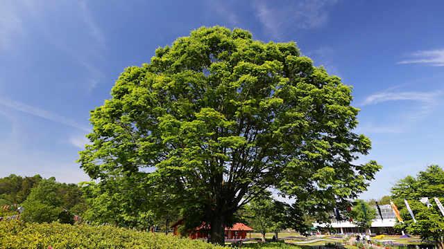 フラワーセンターのシンボルの木新緑の「ケヤキ」