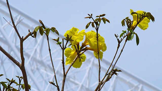 神戸メリケンパーク「イペの花」