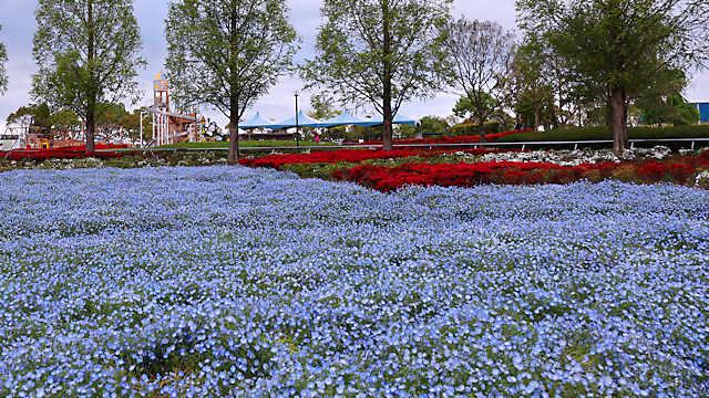 ひまわりの丘公園「ネモフィラ」の花