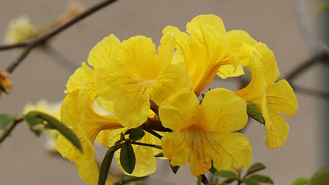 旧神戸海外移住センター(海外移住と文化の交流センター)の「イペの花」
