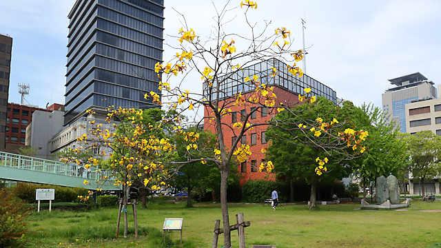みなと公園「イペの花」