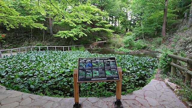摩耶自然観察園「あじさい池」