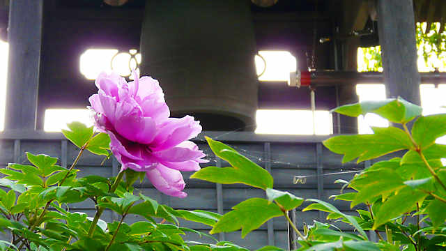 ぼたんの花と鐘楼