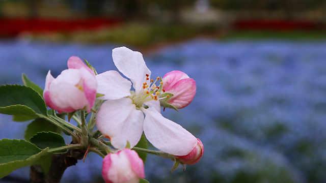 ひまわりの丘公園「リンゴ」の花??