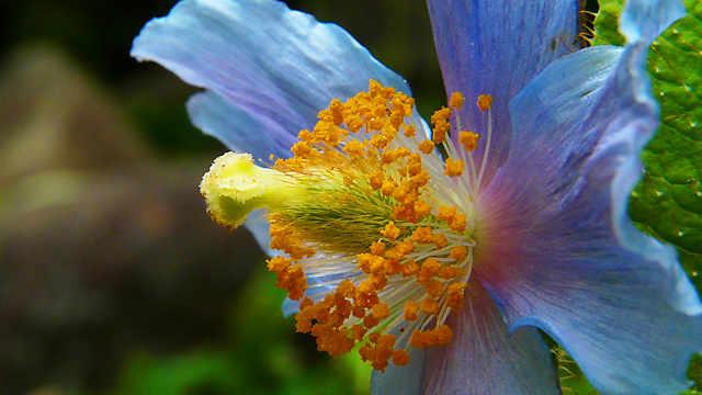六甲高山植物園「ヒマラヤの青いケシ」