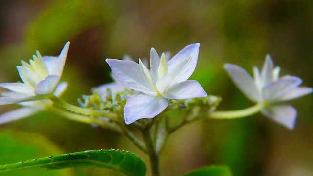 六甲高山植物園「シチダンカ」