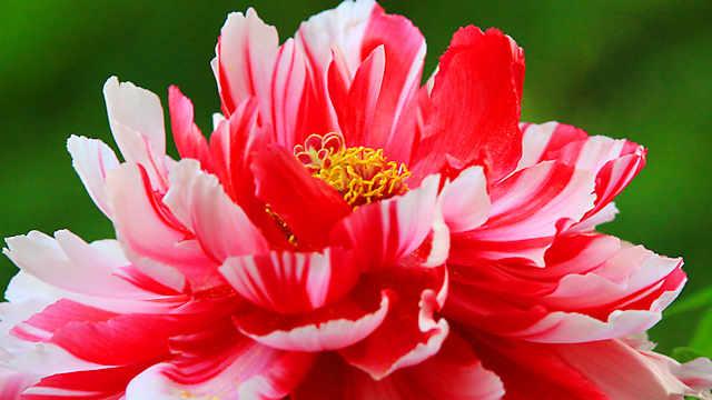 「但馬ぼたん寺」 隆国寺のぼたんの花