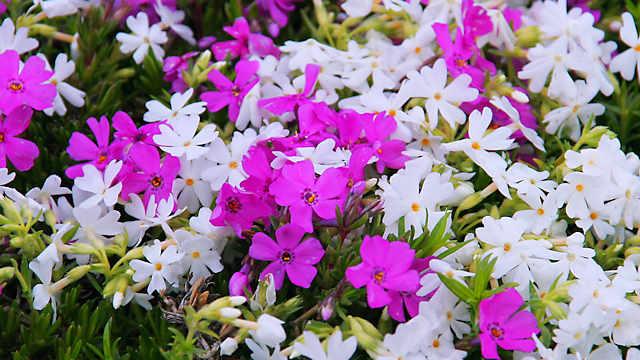 ひまわりの丘公園「芝桜」の花