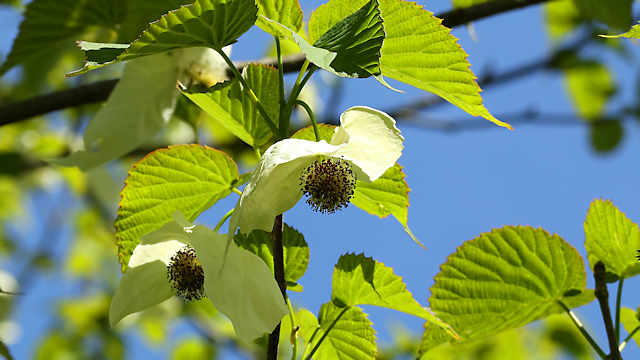 摩耶山天上寺のハンカチの木の花