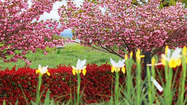 ひまわりの丘公園「ジャーマンアイリス」と「八重桜」の花