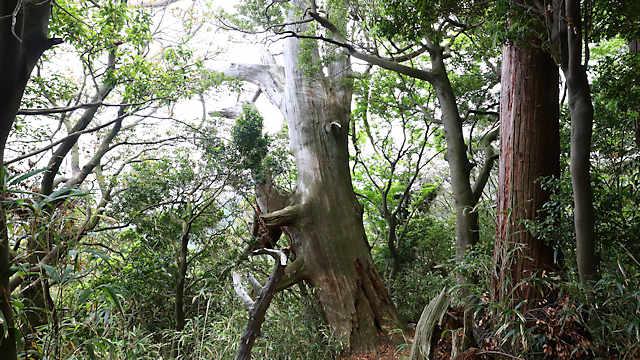 旧摩耶の大杉
