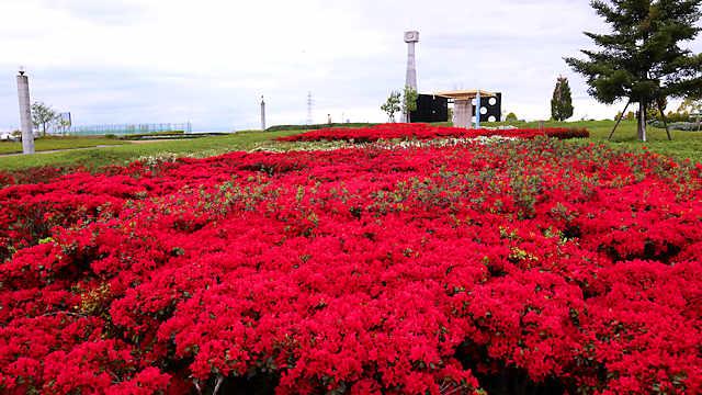 ひまわりの丘公園「クルメツツジ チクシベニ」の花