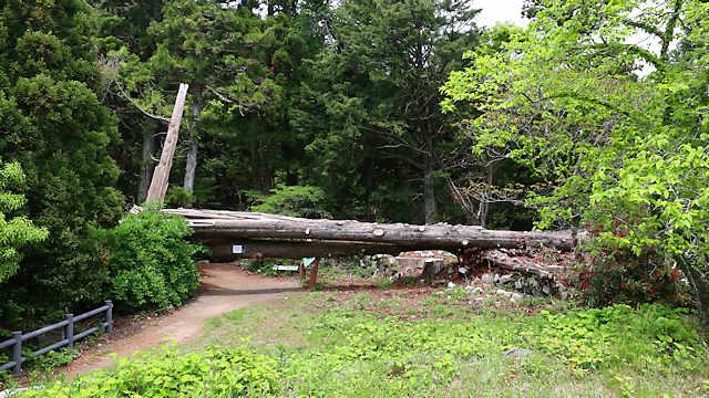 旧天上寺の親子杉。2018年の台風で倒れ、そのままの姿で保存されています。