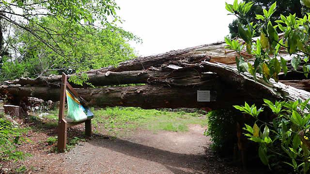 旧天上寺の親子杉