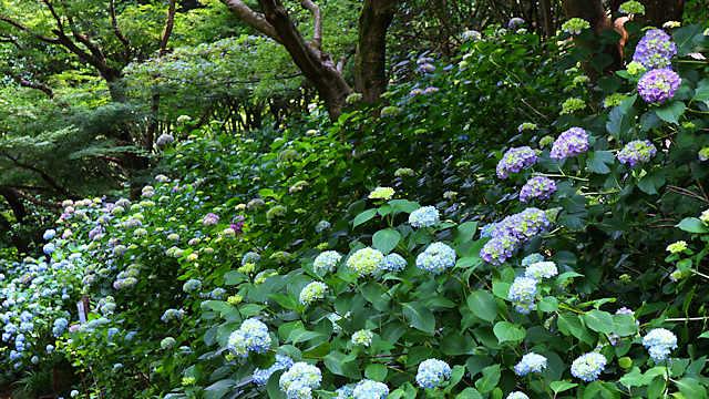 森林植物園「あじさい坂」