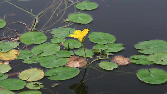 長谷池のアサザ