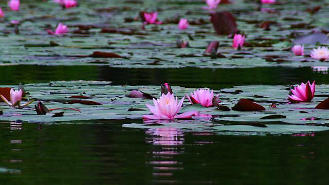 長谷池のスイレン