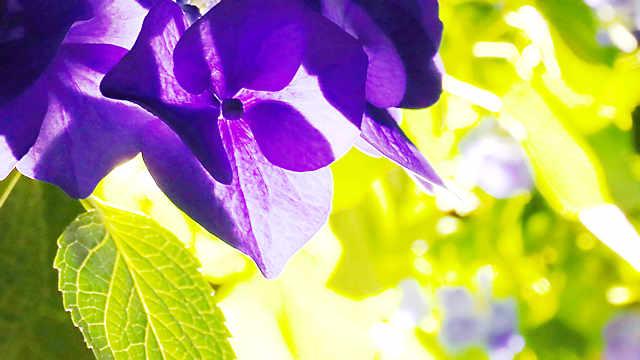 御津自然観察公園・世界の梅公園「あじさいのライトアップ」