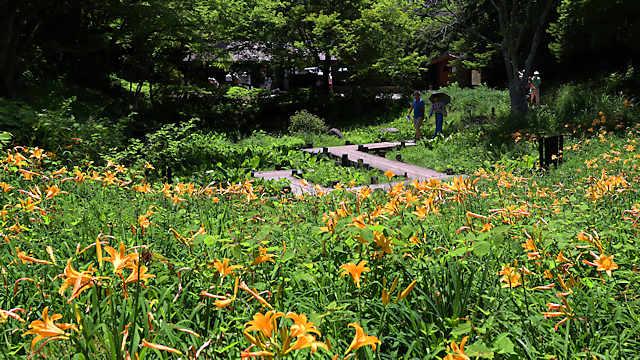 六甲山高山植物園「ニッコウキスゲ」