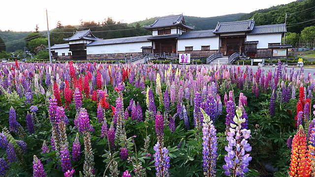 三日月藩乃井野陣屋館のルピナス畑