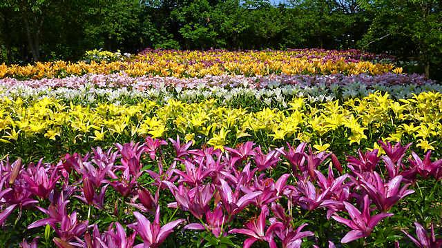 篠山 玉水ゆり園