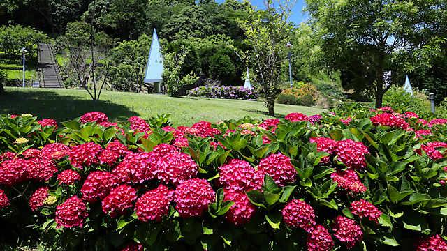 淡路島公園のアジサイ